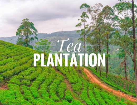 tea plantation in srilanka
