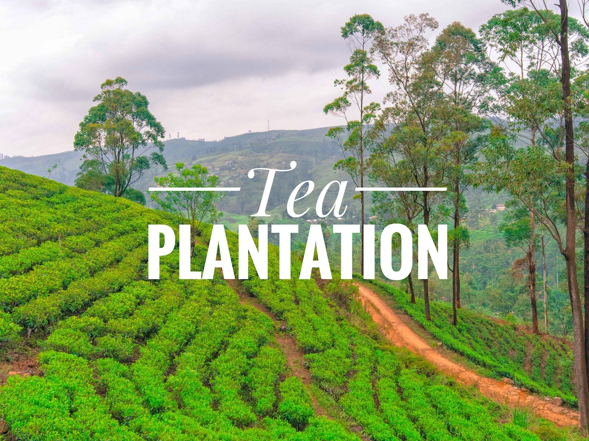 tea plantation in srilanka